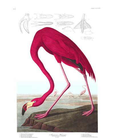 John James Audubon American Flamingo